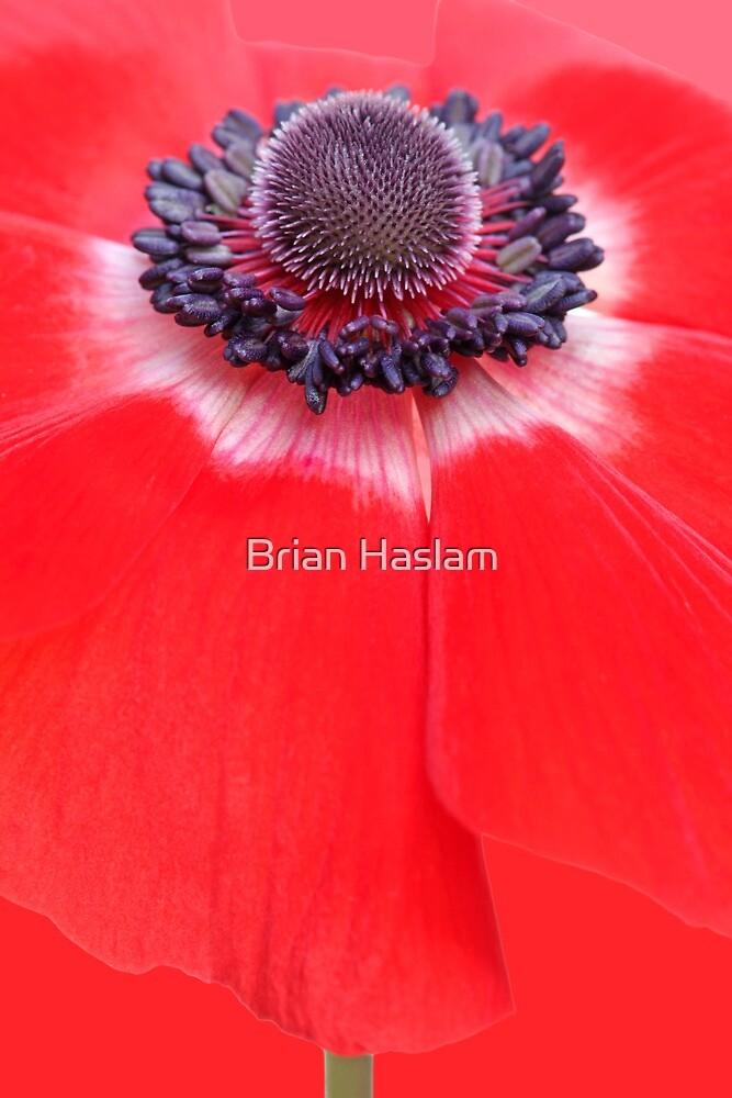 Anemone by Brian Haslam