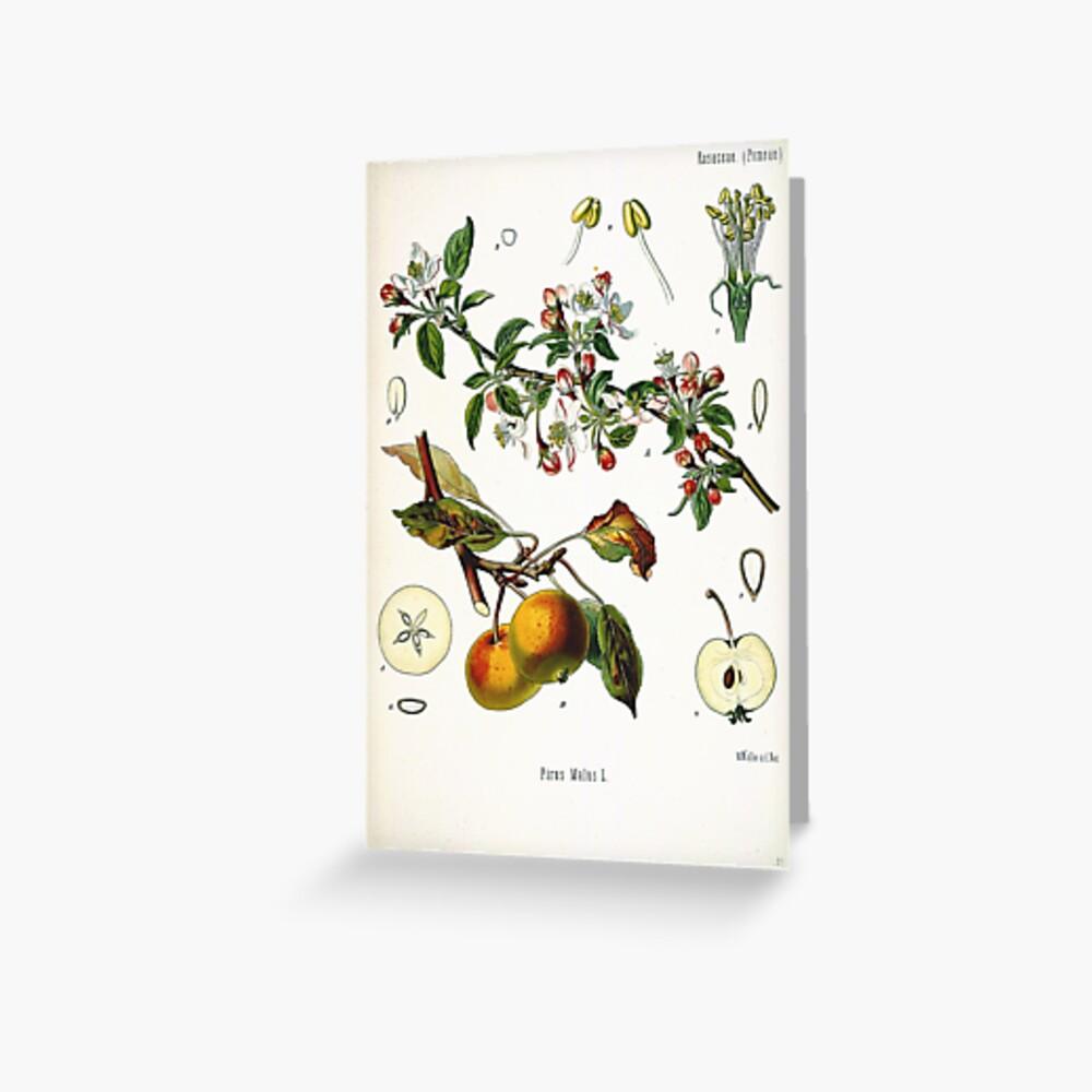 Vintage fruit illustration - Pirus malus (apple) Greeting Card