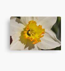 The Daffodils ARE FINALLY HERE!!!! Canvas Print