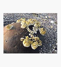 Barnacles on a Rock ~ Bar Harbor, Maine Photographic Print