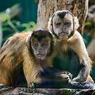 Tufted Capuchin Monkeys by Chris  Randall
