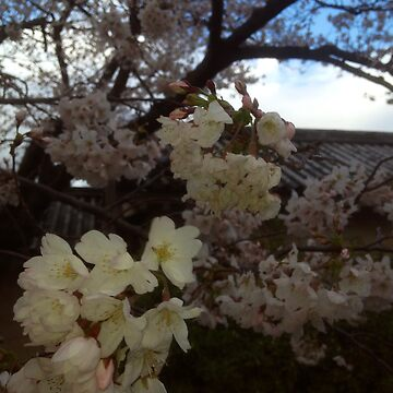 Cherry Blossom by lisa53396