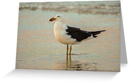 Black Tailed Gull, Henley Beach, Australia by JoBling