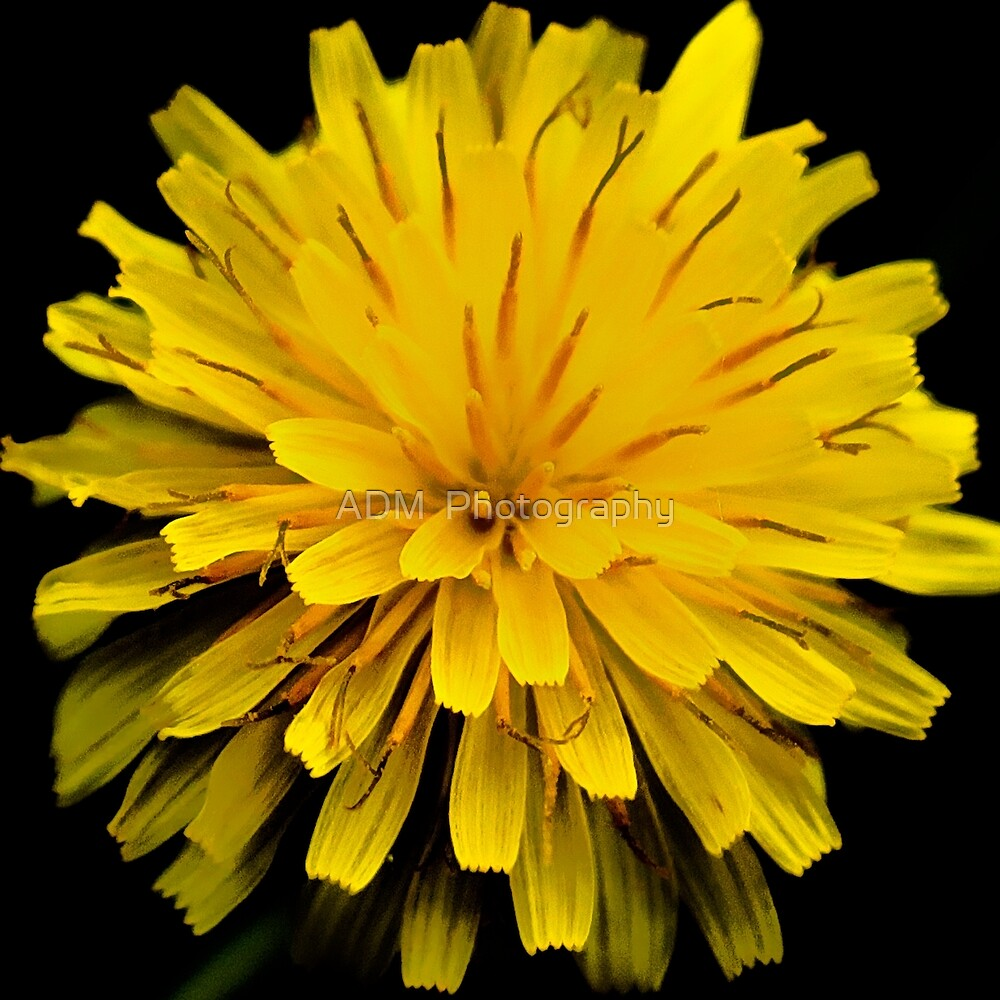 Dandelion by Amber D Hathaway Photography
