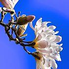 Magnolia Blossom by Cee Neuner