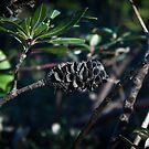Banksia by mewalsh