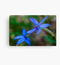 Showy Isotome. Canvas Print