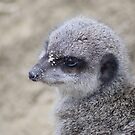 more meerkat moments by Essexbeginner