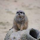Misserable meerkat by Essexbeginner