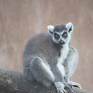 Ringtail lemur by Essexbeginner