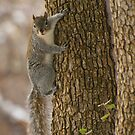 Western Grey Squirrel Climbing A Tree by K D Graves Photography