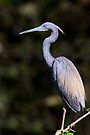 Tricolored Heron by Kenneth Keifer