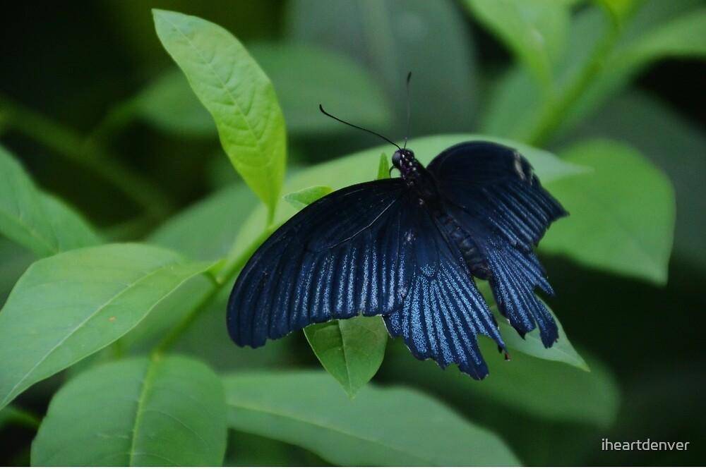 Black Butterfly by iheartdenver