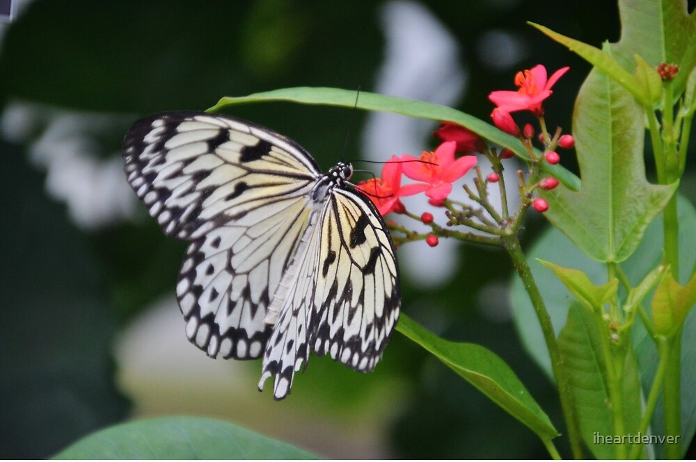 Black and White Butterfly by iheartdenver