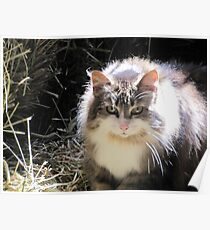 Barn cat with a halo Poster
