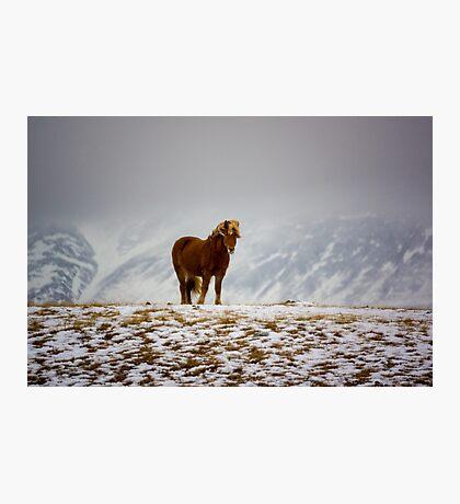 Icelandic Horse Photographic Print
