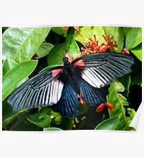 Great Mormon Butterfly Poster