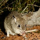 Tropical Bettong by Wendy Sinclair