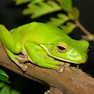 Green Tree Frog by Wendy Sinclair
