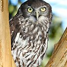 Barking Owl by Wendy Sinclair