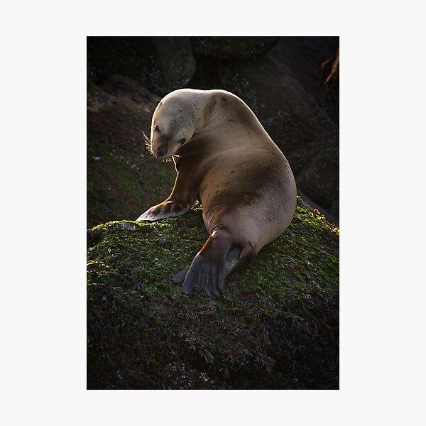 Juvenile Sea Lion on the Belle Chain Photographic Print