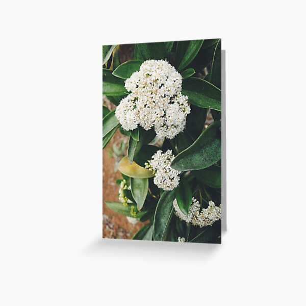 White Glory Greeting Card