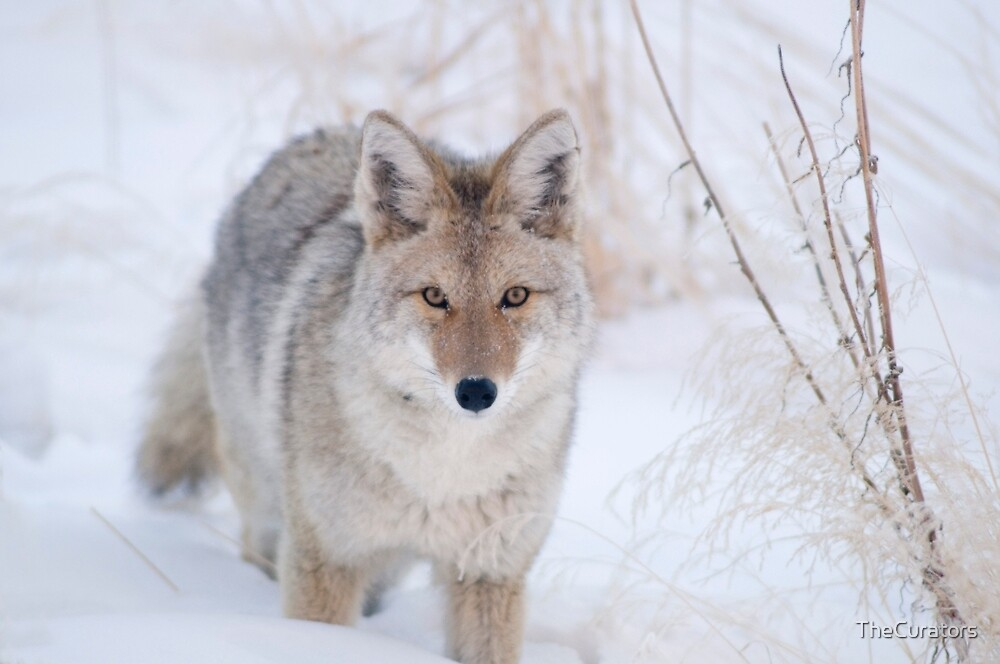 Coyote in Snow at Yellowstone NP by TheCurators