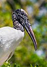 Wood Stork Profile by Kenneth Keifer