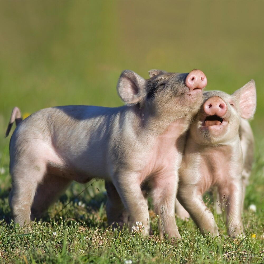 Two Cute Piglets Playing by TheCurators