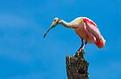 Roseate Spoonbill on Tree Trunk by Kenneth Keifer