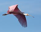 Roseate Spoonbill Soars by Kenneth Keifer