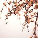 Cherry Spring by T M B