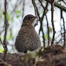 Young Blackbird by alisonfd
