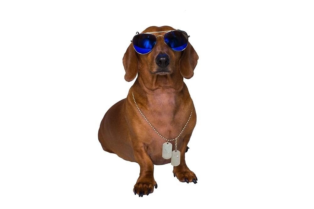 Dachshund Sausage Dog wearing Aviators by DachsAnonymous