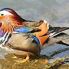 Mandarin Duck by looneyatoms