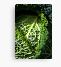 Savoy Cabbage growing in Tasmania Canvas Print