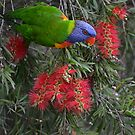 Lorikeet in Nature's Restaurant by Gary Kelly