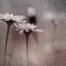 Dark Daisy... by Bob Daalder