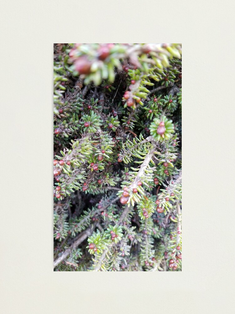 Alternate view of evergreen ever so close Photographic Print