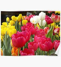 Colorful Tulips, Union Square, New York City Poster