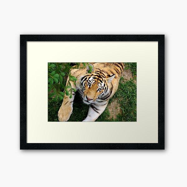 Chilling tiger Framed Art Print