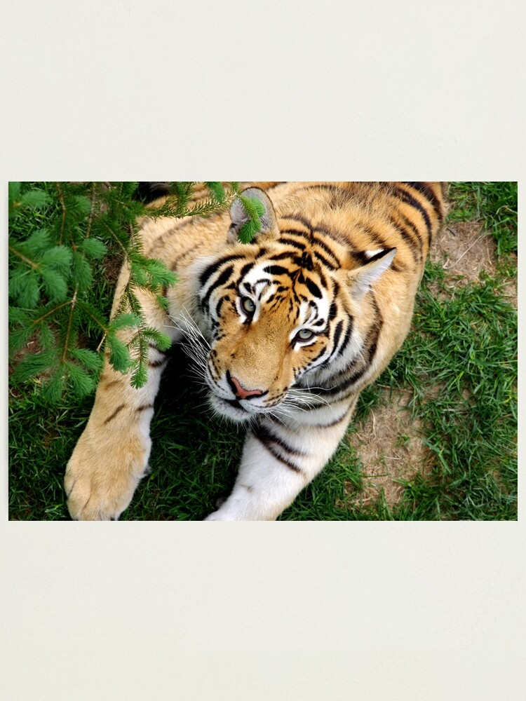 Alternate view of Chilling tiger Photographic Print