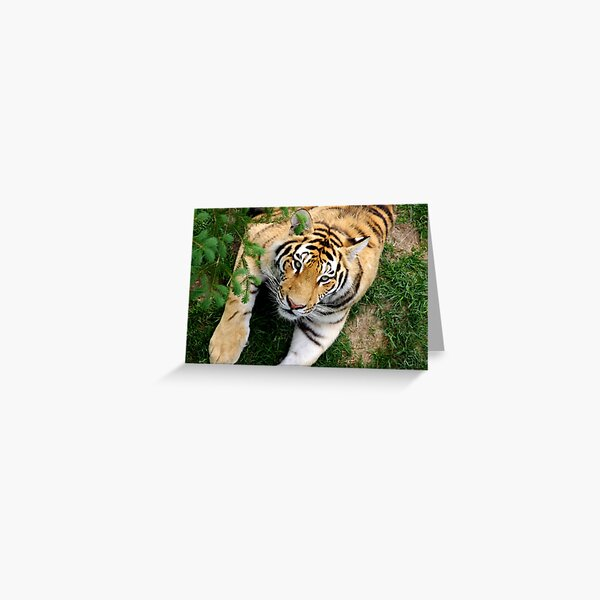 Chilling tiger Greeting Card