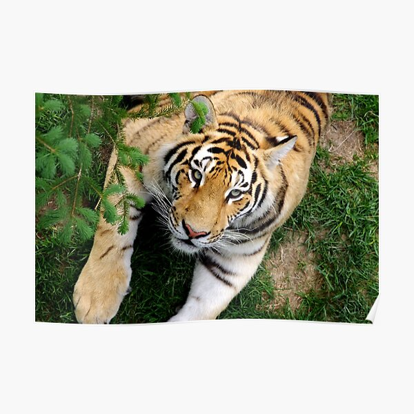 Chilling tiger Poster