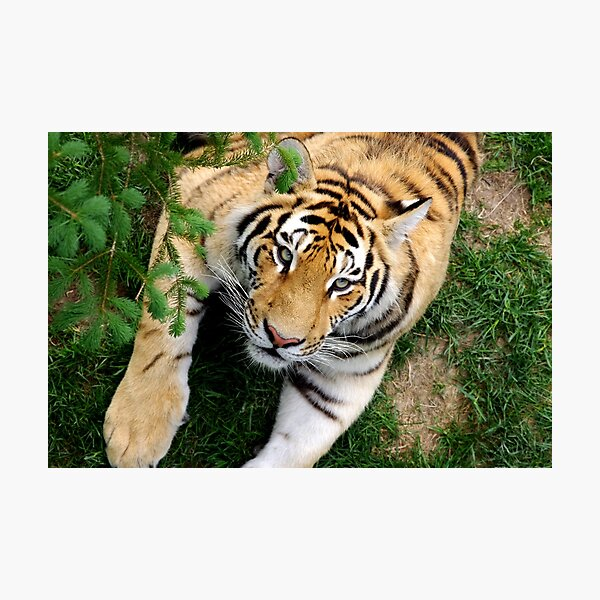 Chilling tiger Photographic Print