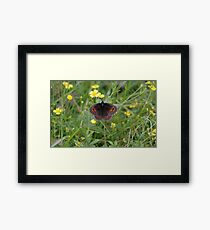 Scotch Argus Framed Print