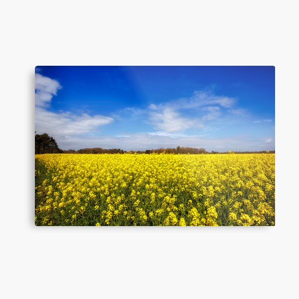 Field Of Rapeseed  Metal Print