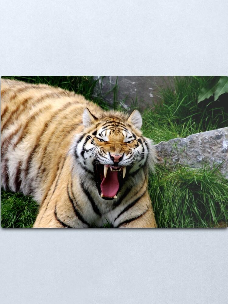 Alternate view of Yawning tiger 2 Metal Print