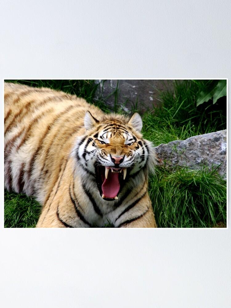 Alternate view of Yawning tiger 2 Poster
