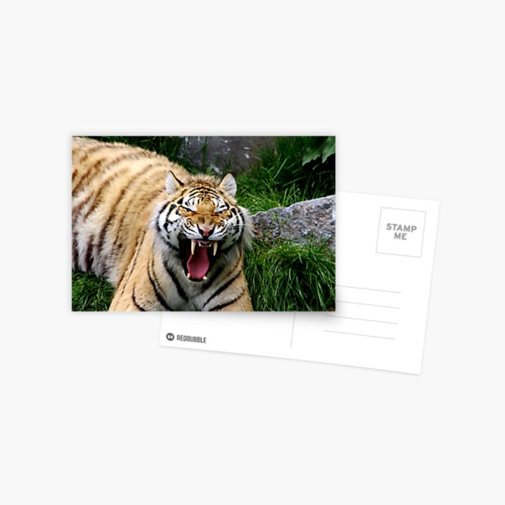 Yawning tiger 2 Postcard